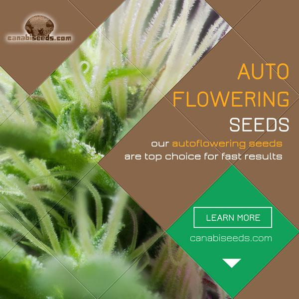 See all our high-quality autoflowering feminized seeds