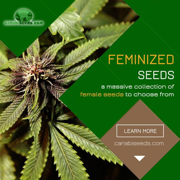 See all our high-quality feminized seeds