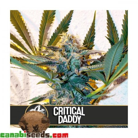 Critical Daddy Purple