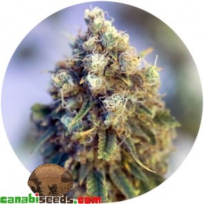 Critical Mass Cbd